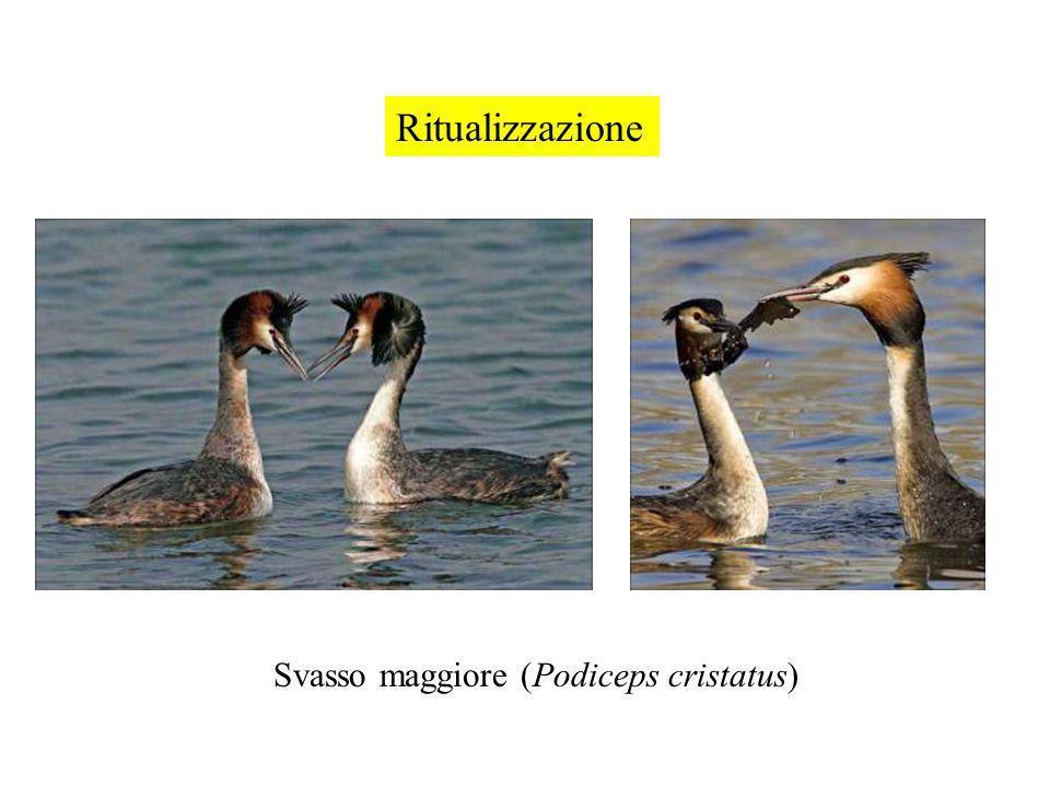 Ritualizzazione Svasso maggiore (Podiceps cristatus)