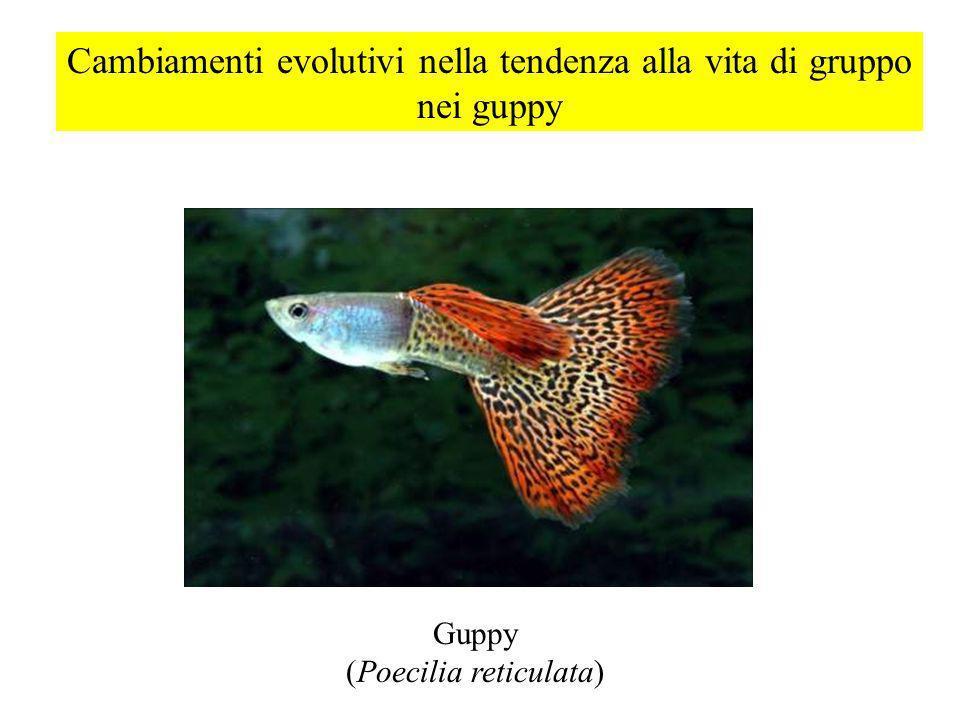 Cambiamenti evolutivi nella tendenza alla vita di gruppo nei guppy Guppy (Poecilia reticulata)