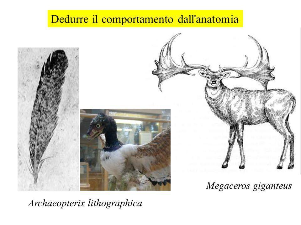 Dedurre il comportamento dall'anatomia Megaceros giganteus Archaeopterix lithographica