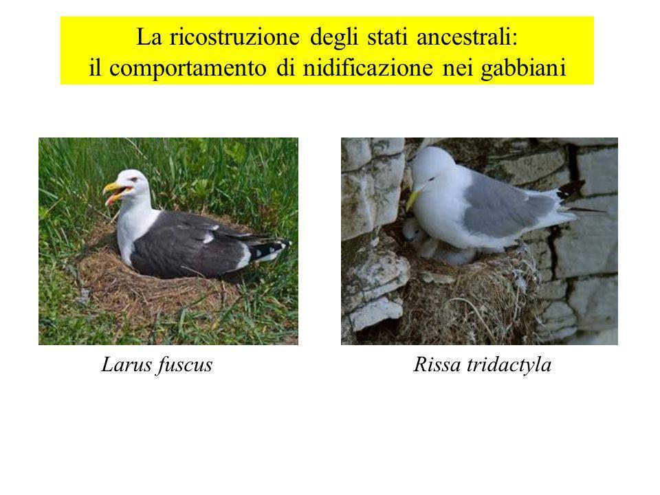 La ricostruzione degli stati ancestrali: il comportamento di nidificazione nei gabbiani Larus fuscusRissa tridactyla