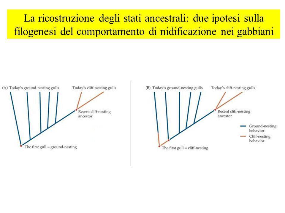La ricostruzione degli stati ancestrali: due ipotesi sulla filogenesi del comportamento di nidificazione nei gabbiani