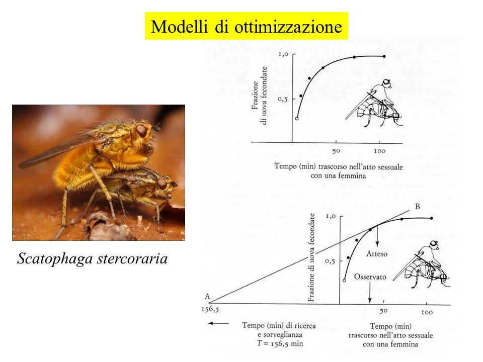 Scatophaga stercoraria Modelli di ottimizzazione