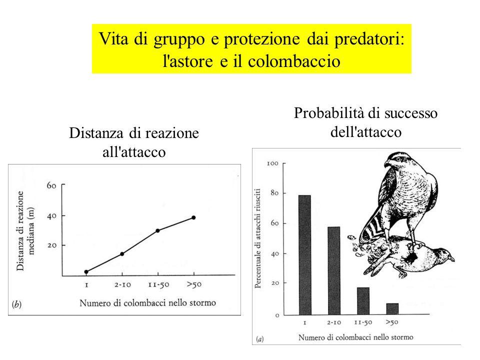 Vita di gruppo e protezione dai predatori: l'astore e il colombaccio Distanza di reazione all'attacco Probabilità di successo dell'attacco