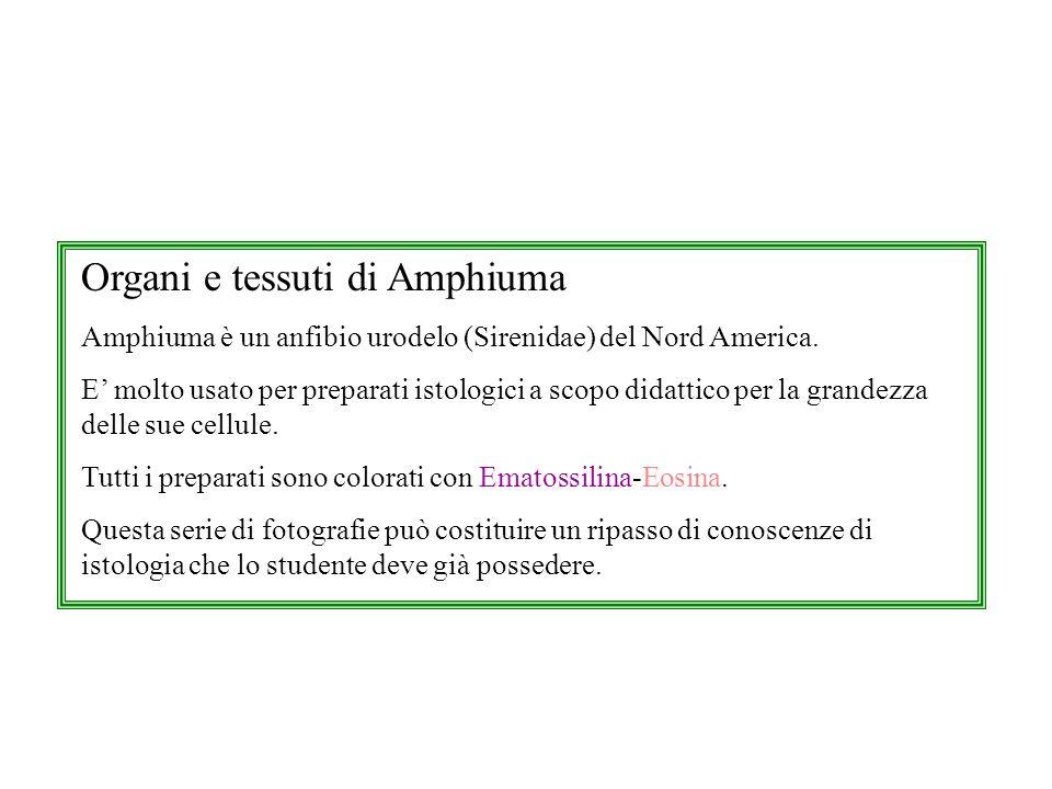 Organi e tessuti di Amphiuma Amphiuma è un anfibio urodelo (Sirenidae) del Nord America. E molto usato per preparati istologici a scopo didattico per