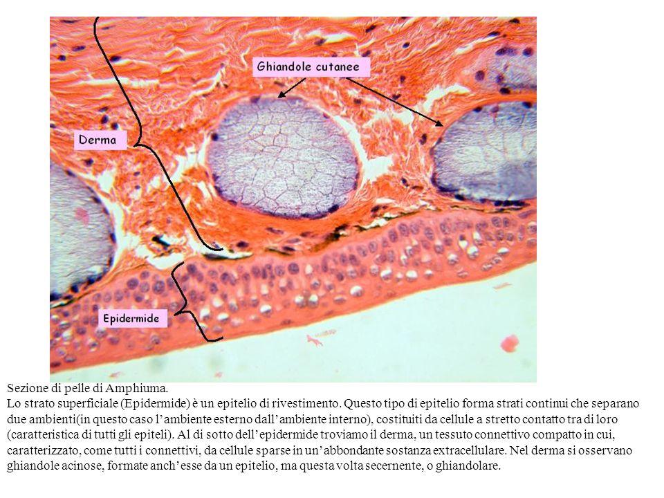 Sezione di pelle di Amphiuma. Lo strato superficiale (Epidermide) è un epitelio di rivestimento. Questo tipo di epitelio forma strati continui che sep