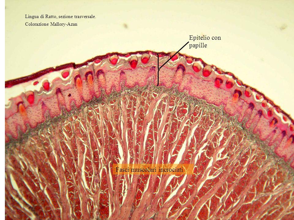 Epitelio con papille cheratinizzate Connettivo denso Fibre muscolari striate in sezione trasversale e longitudinale Lo strato superficiale è un artefatto dovuto alla coagulazione da parte del fissativo di sangue e muco.