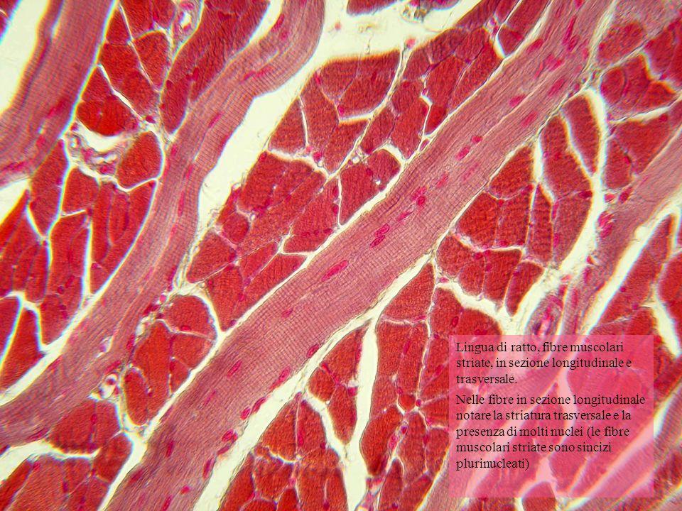 Lingua di ratto, fibre muscolari striate, in sezione longitudinale e trasversale. Nelle fibre in sezione longitudinale notare la striatura trasversale