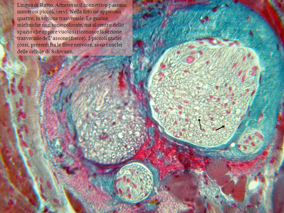 Lingua di Ratto. Attraverso il connettivo passano numerosi piccoli nervi. Nella foto ne appaiono quattro, in sezione trasversale. Le guaine mieliniche