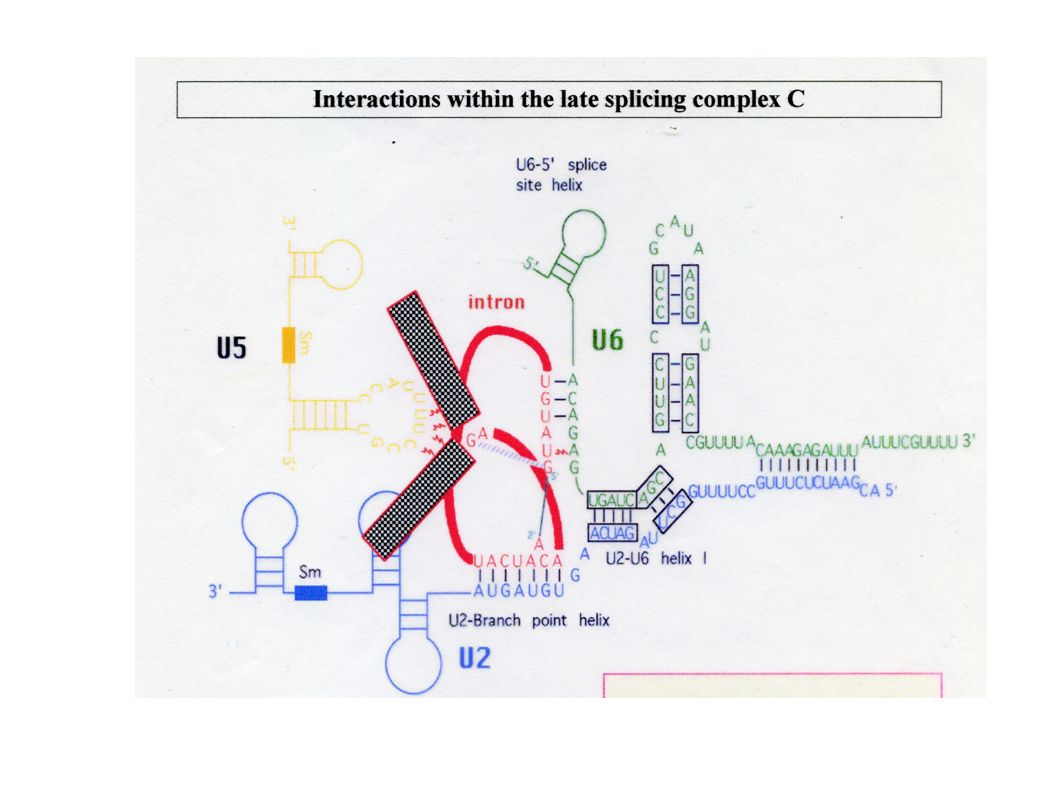 Esistono introni che fanno splicing in assenza di proteine e snRNA AUTOSPLICING o SPLICING AUTOCATALITICO (introni di gruppo I e II)