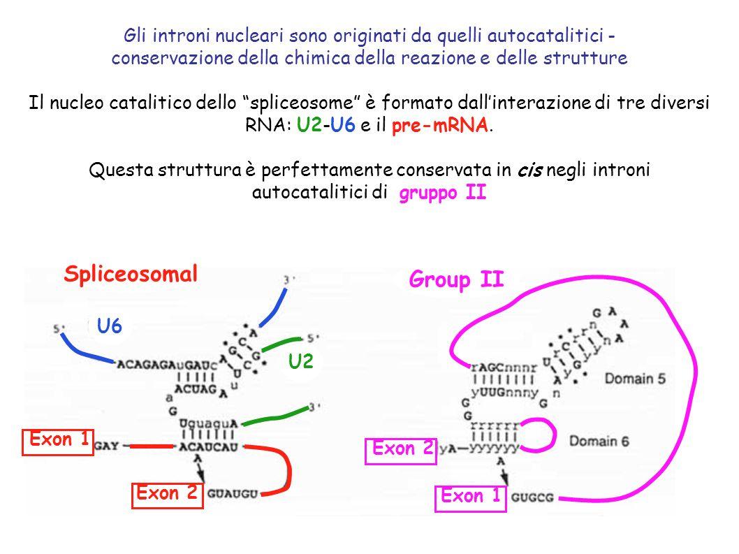 Gli introni nucleari sono originati da quelli autocatalitici - conservazione della chimica della reazione e delle strutture Il nucleo catalitico dello spliceosome è formato dallinterazione di tre diversi RNA: U2-U6 e il pre-mRNA.