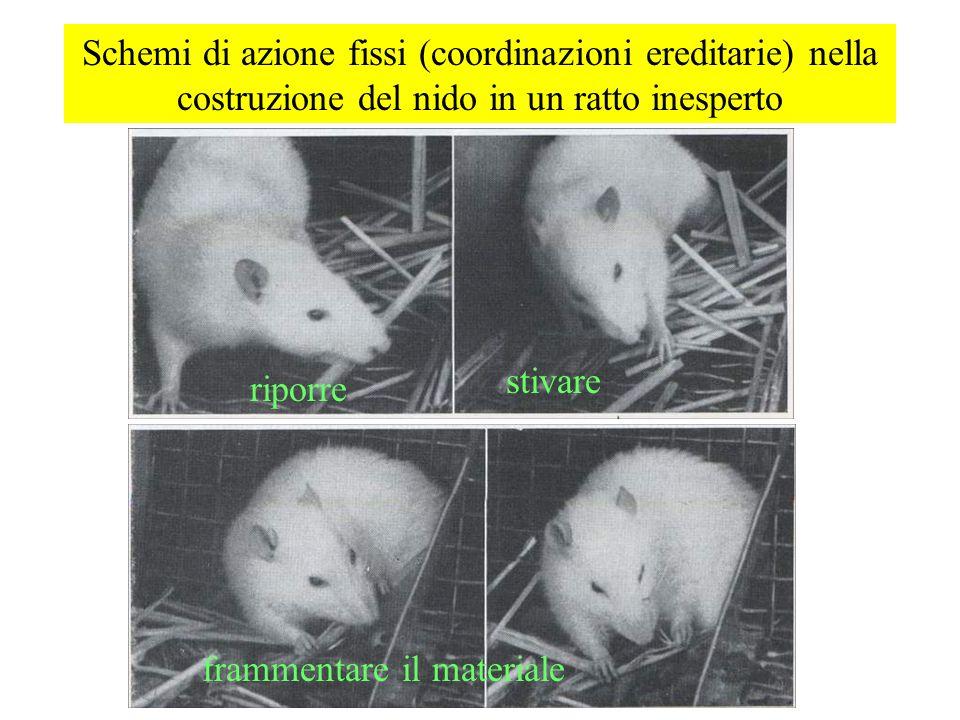 Schemi di azione fissi (coordinazioni ereditarie) nella costruzione del nido in un ratto inesperto riporre frammentare il materiale stivare