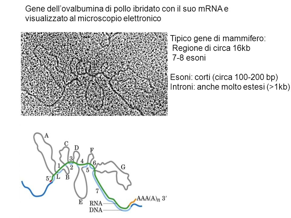 Tipico gene di mammifero: Regione di circa 16kb 7-8 esoni Esoni: corti (circa 100-200 bp) Introni: anche molto estesi (>1kb) Gene dellovalbumina di pollo ibridato con il suo mRNA e visualizzato al microscopio elettronico