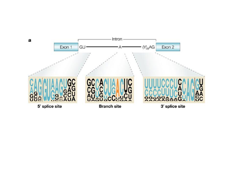 Sequenze consensus per lo splicing