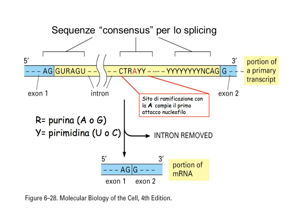 Sequenze consensus per lo splicing