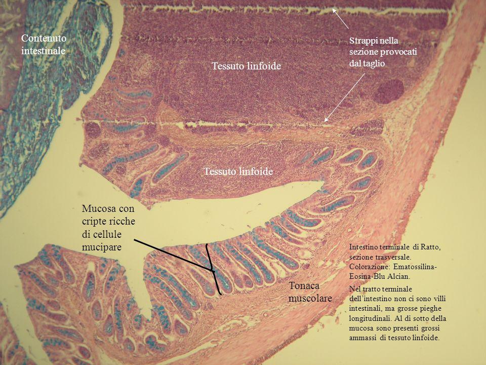 Contenuto intestinale Tonaca muscolare Mucosa con cripte ricche di cellule mucipare Tessuto linfoide Strappi nella sezione provocati dal taglio Intest