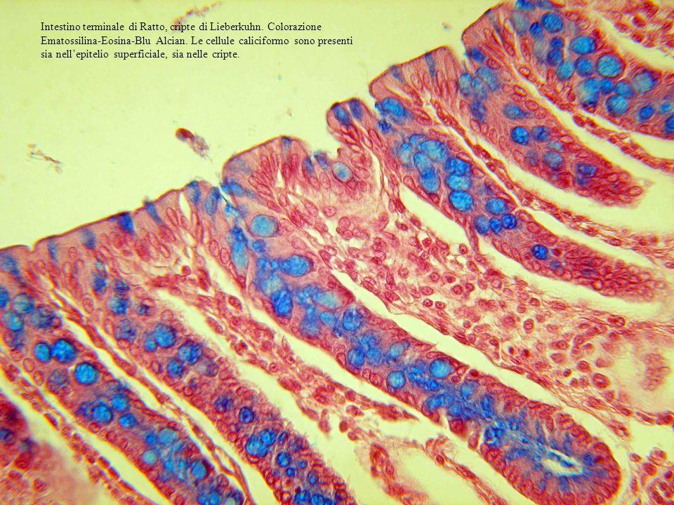 Intestino terminale di Ratto, cripte di Lieberkuhn. Colorazione Ematossilina-Eosina-Blu Alcian. Le cellule caliciformo sono presenti sia nellepitelio