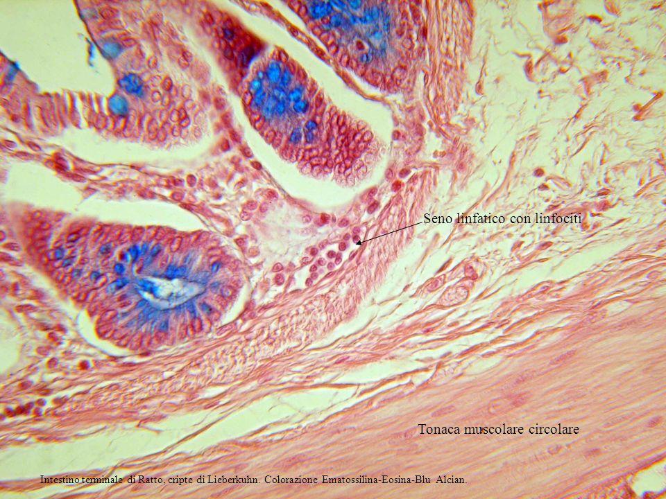 Seno linfatico con linfociti Tonaca muscolare circolare Intestino terminale di Ratto, cripte di Lieberkuhn. Colorazione Ematossilina-Eosina-Blu Alcian