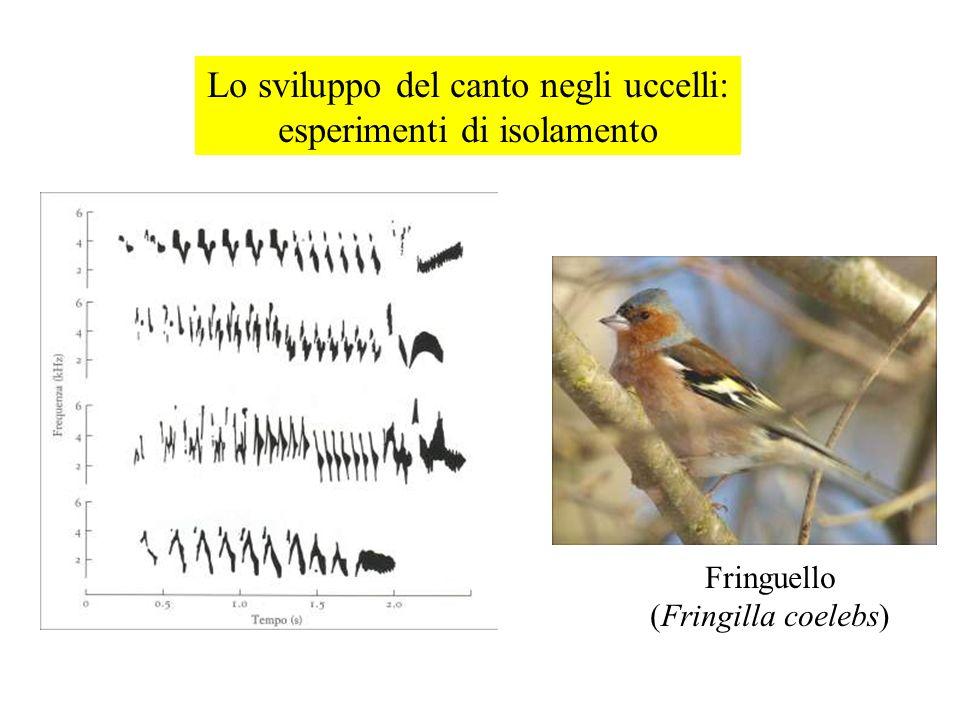 Lo sviluppo del canto negli uccelli: esperimenti di isolamento Fringuello (Fringilla coelebs)