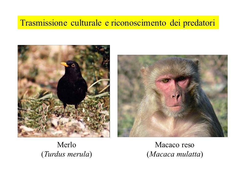 Trasmissione culturale e riconoscimento dei predatori Merlo (Turdus merula) Macaco reso (Macaca mulatta)