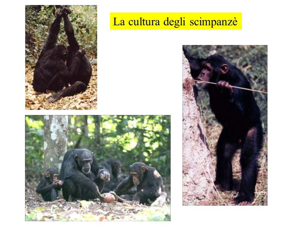La cultura degli scimpanzè