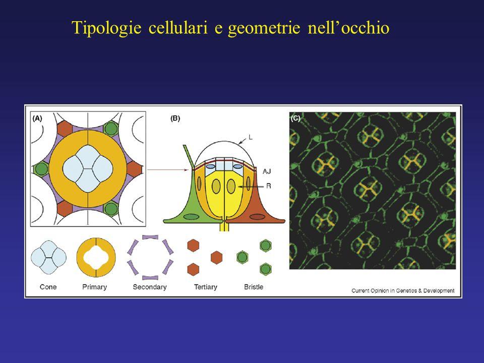 Formazione del pattern nellocchio pupale (A) inizio della pupazione; (B) 20 ore; (C) 30 ore; (D) 40 ore; (E) 60 ore.