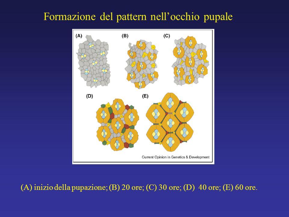 Struttura dellocchio e dellommatidio Locchio e fatto di 750 unità ripetitive chiamate ommatidi.