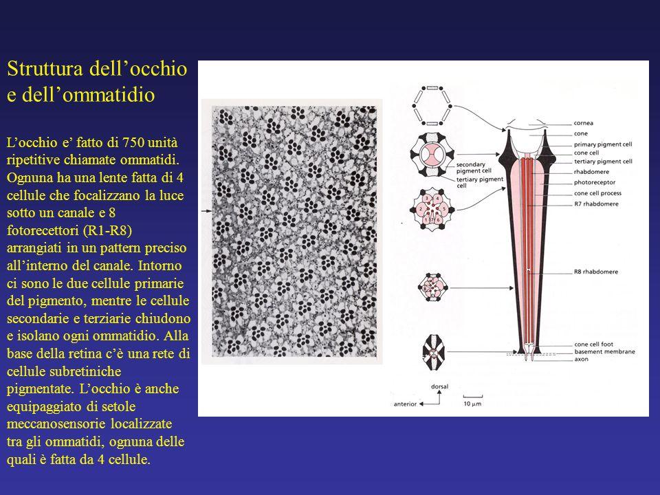 Struttura dellocchio e dellommatidio Locchio e fatto di 750 unità ripetitive chiamate ommatidi. Ognuna ha una lente fatta di 4 cellule che focalizzano