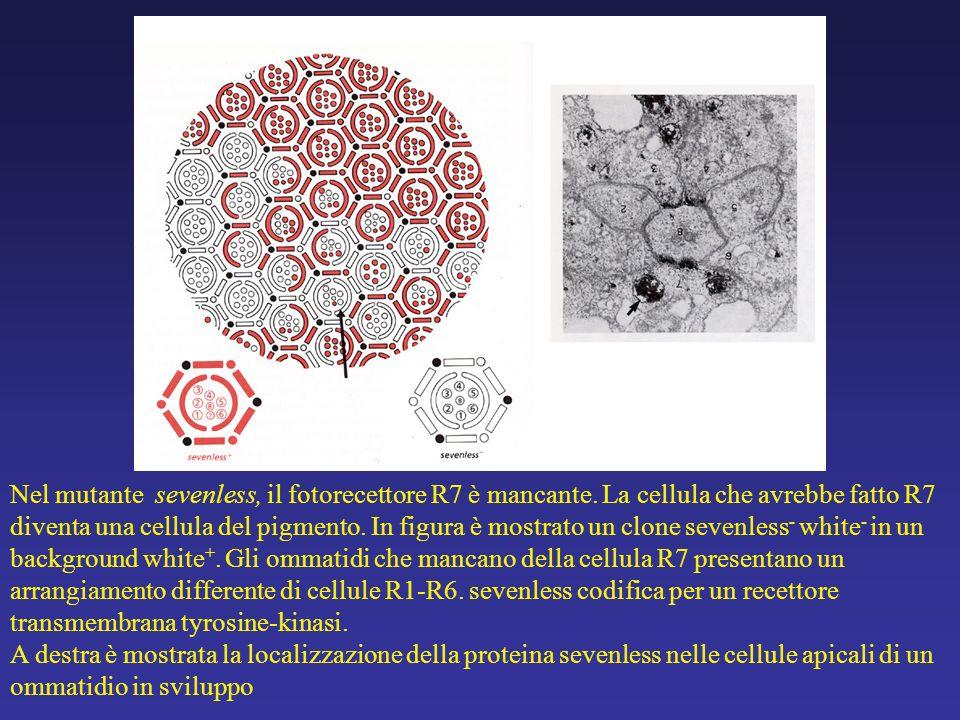Nel mutante sevenless, il fotorecettore R7 è mancante. La cellula che avrebbe fatto R7 diventa una cellula del pigmento. In figura è mostrato un clone