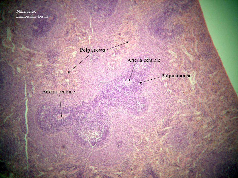 Polpa bianca Polpa rossa Arteria centrale Milza, ratto. Ematossilina-Eosina.
