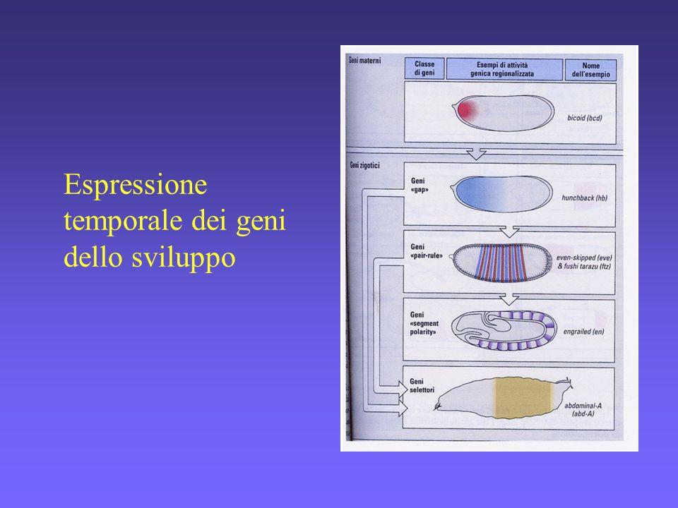 Espressione temporale dei geni dello sviluppo