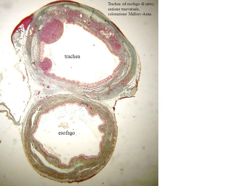 Trachea ed esofago di ratto, sezione trasversale, colorazione Mallory-Azan. trachea esofago