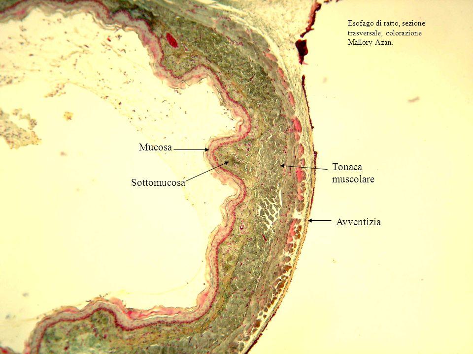 Mucosa Sottomucosa Tonaca muscolare Avventizia Esofago di ratto, sezione trasversale, colorazione Mallory-Azan.