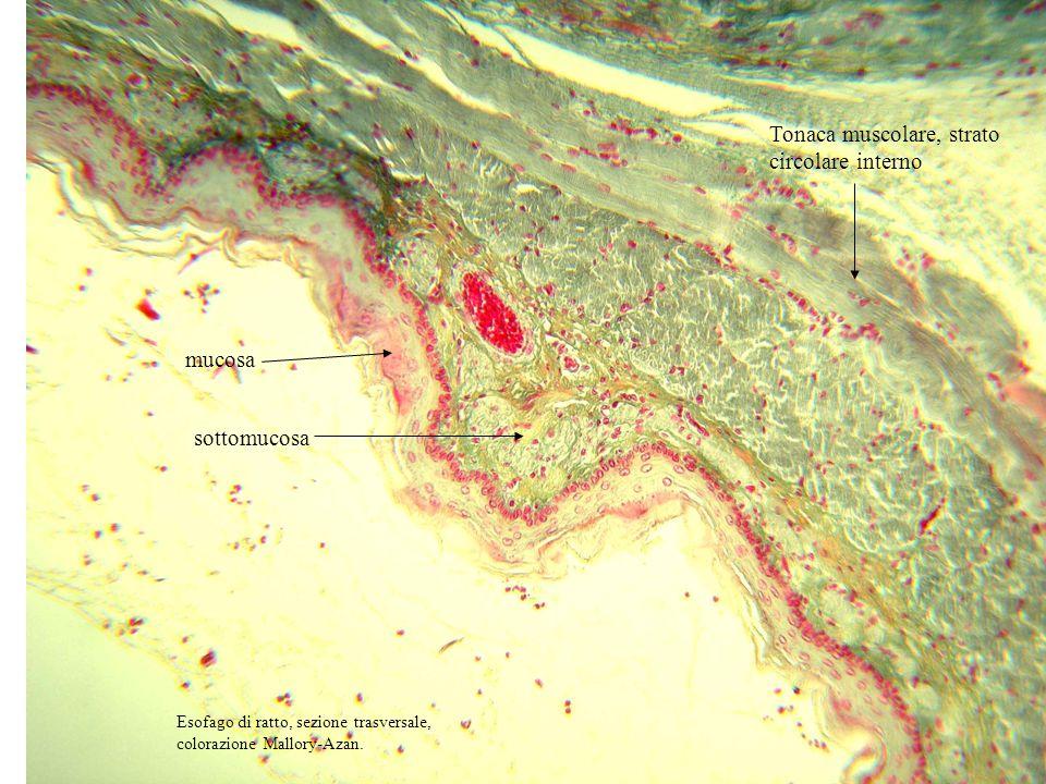 Epitelio pavimentoso pluristratificato della mucosa sottomucosa Tonaca muscolare, strato circolare interno Esofago di ratto, sezione trasversale, colorazione Mallory-Azan.