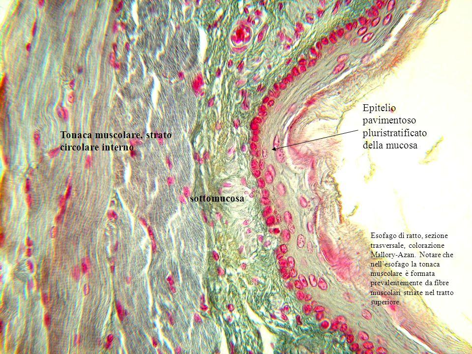 Esofago di ratto, sezione trasversale, colorazione Mallory- Azan.