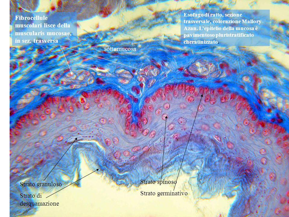 Esofago di ratto, sezione trasversale, colorazione Mallory- Azan. Lepitelio della mucosa è pavimentoso pluristratificato cheratinizzato. Strato granul