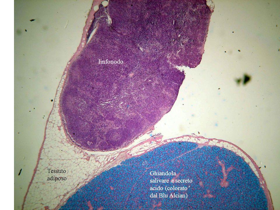 linfonodo Ghiandola salivare a secreto acido (colorato dal Blu Alcian) Tessuto adiposo
