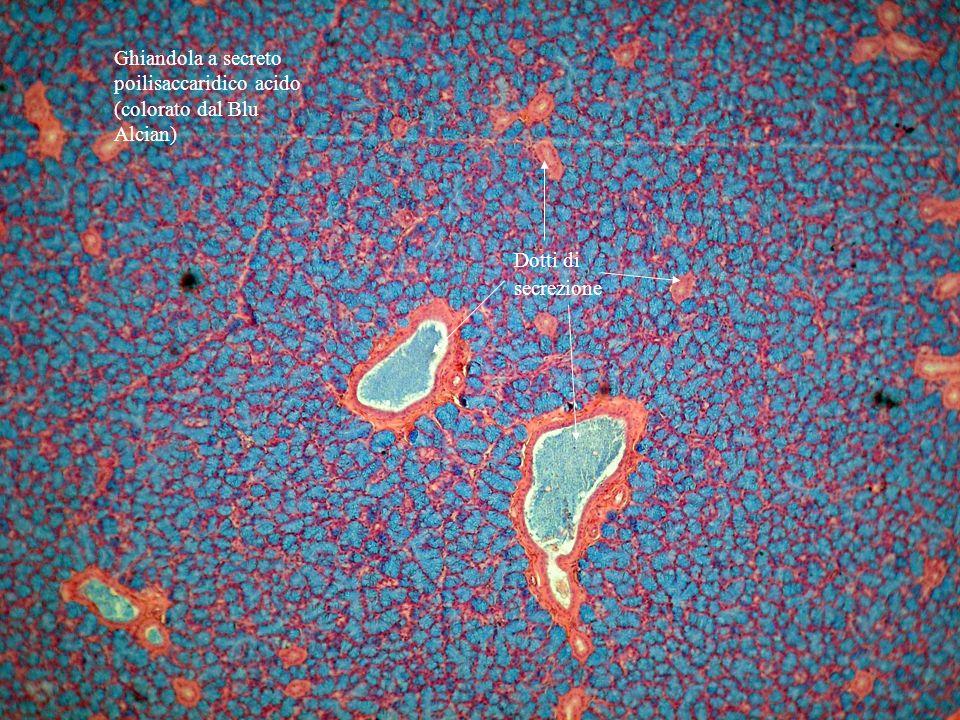 Ghiandola a secreto poilisaccaridico acido (colorato dal Blu Alcian) Dotti di secrezione