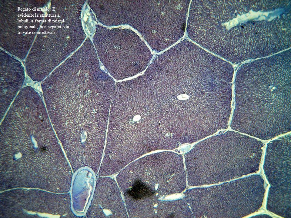 Fegato di maiale, due lobuli confluenti. Vene centrali dei lobuli Area portale