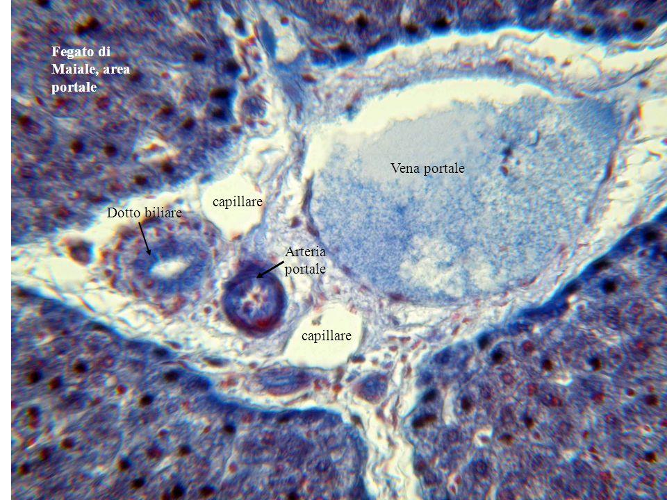Fegato di maiale, travate (o lamine, o cordoni) epatiche.