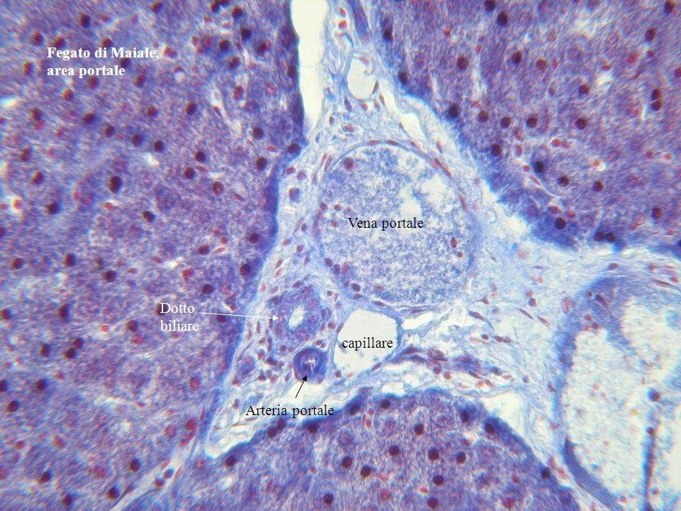 Fegato di Maiale, area portale Vena portale Arteria portale Dotto biliare capillare