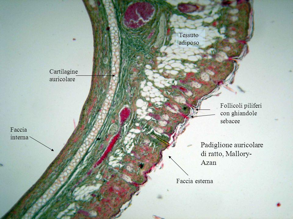 Padiglione auricolare di ratto, Mallory- Azan Follicoli piliferi con ghiandole sebacee Cartilagine auricolare Tessuto adiposo Faccia interna Faccia es