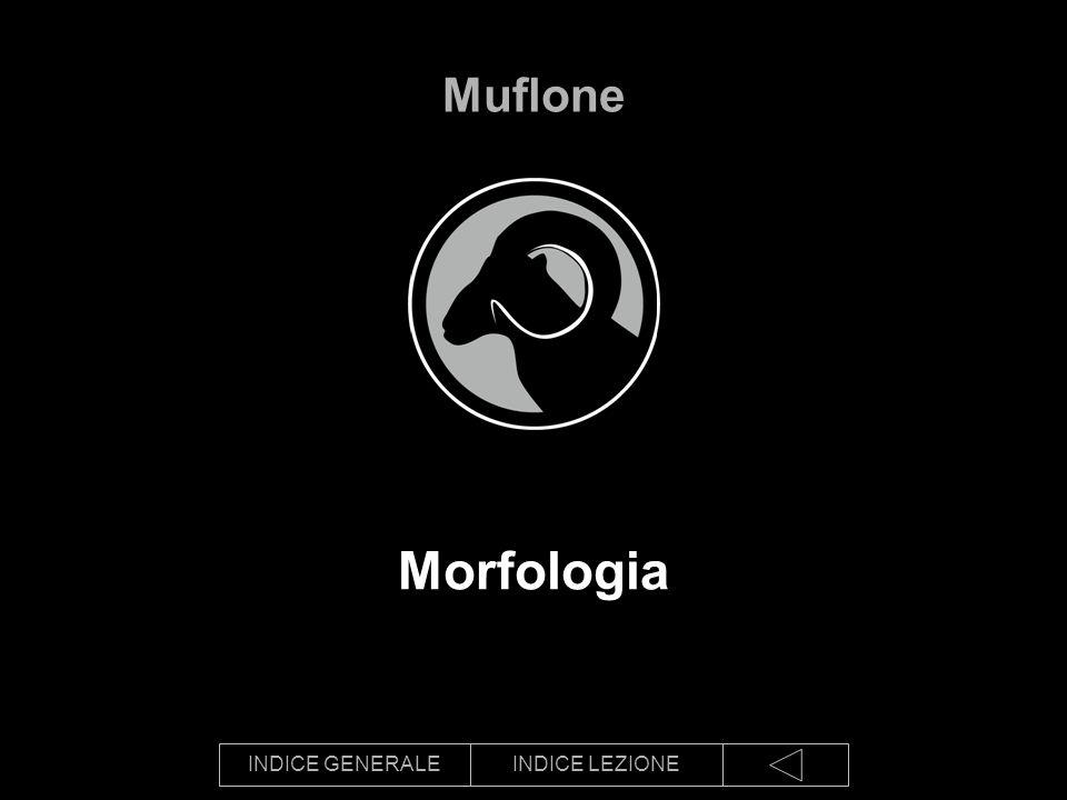 INDICE GENERALEINDICE LEZIONE Morfologia Muflone