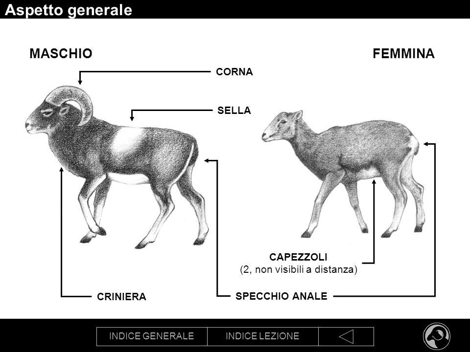 INDICE GENERALEINDICE LEZIONE Aspetto generale SPECCHIO ANALE CORNA CAPEZZOLI (2, non visibili a distanza) FEMMINAMASCHIO CRINIERA SELLA