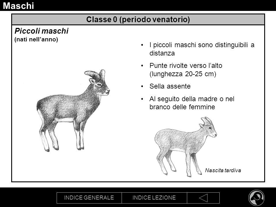 INDICE GENERALEINDICE LEZIONE Maschi Classe 0 (periodo venatorio) Piccoli maschi (nati nellanno) I piccoli maschi sono distinguibili a distanza Punte