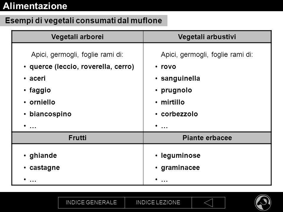INDICE GENERALEINDICE LEZIONE Alimentazione Esempi di vegetali consumati dal muflone Vegetali arboreiVegetali arbustivi Apici, germogli, foglie rami d