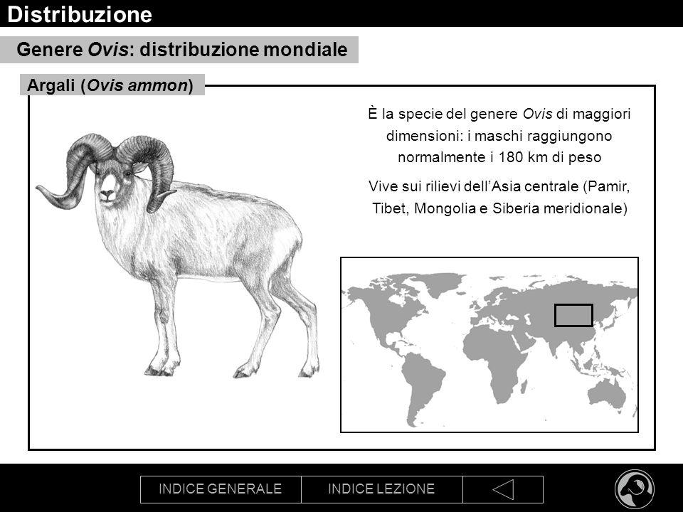 INDICE GENERALEINDICE LEZIONE Distribuzione Genere Ovis: distribuzione mondiale È la specie del genere Ovis di maggiori dimensioni: i maschi raggiungo