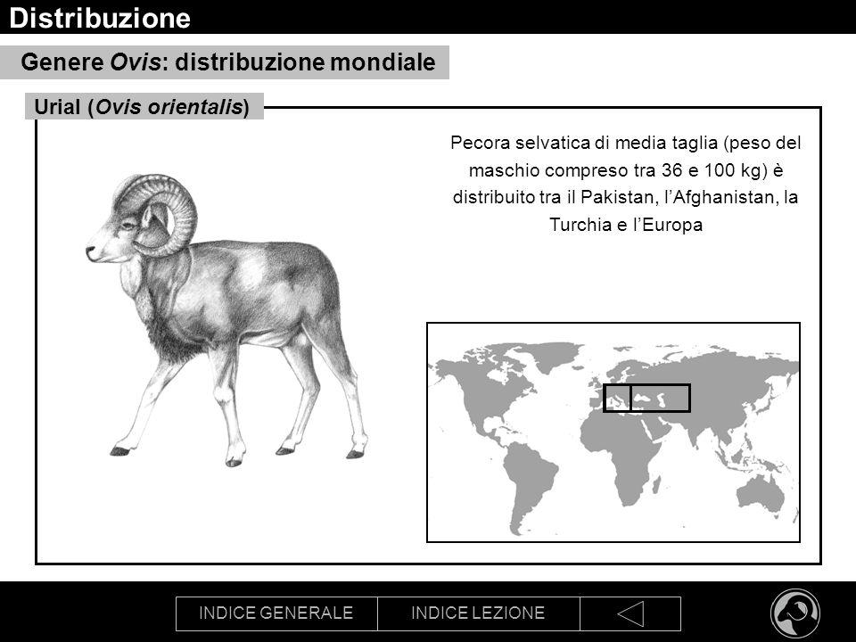 INDICE GENERALEINDICE LEZIONE Distribuzione Genere Ovis: distribuzione mondiale Pecora selvatica di media taglia (peso del maschio compreso tra 36 e 1