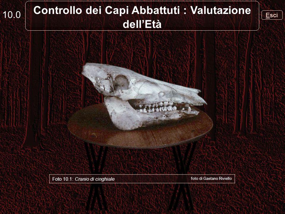 Esci 10.0 Controllo dei Capi Abbattuti : Valutazione dellEtà Foto 10.1: Cranio di cinghiale foto di Gaetano Riviello