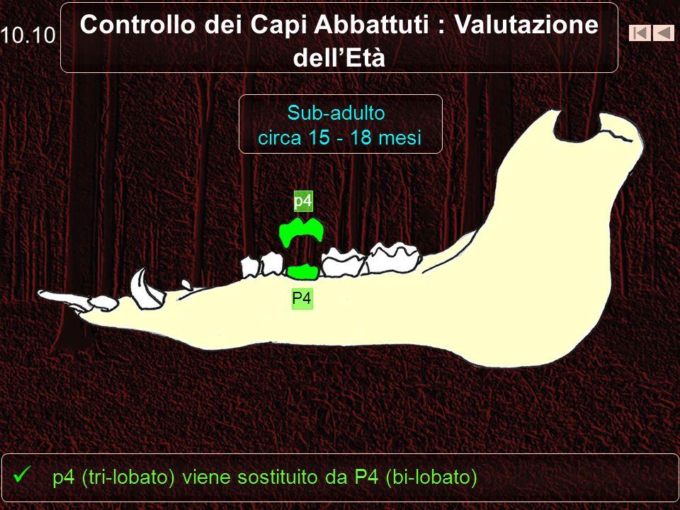 10.9 Controllo dei Capi Abbattuti : Valutazione dellEtà Spunta M2 p4 è sempre tri-lobato Sub-adulto circa 12 mesi M2 P1 p4