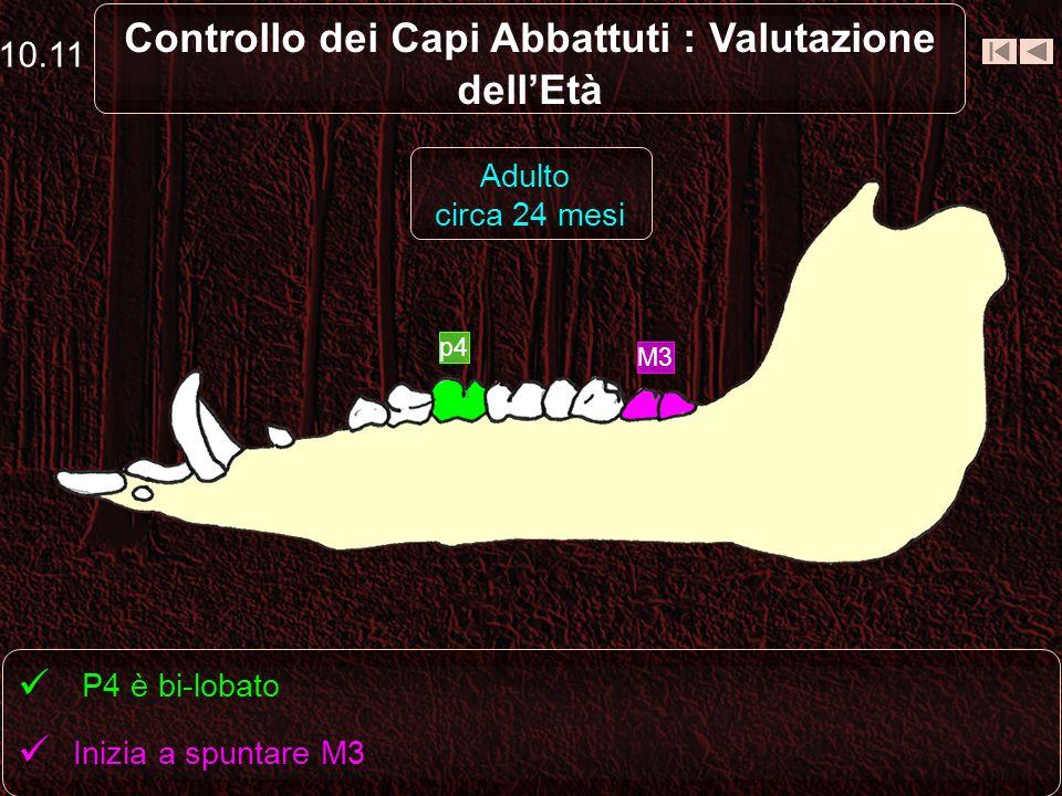 Controllo dei Capi Abbattuti : Valutazione dellEtà p4 (tri-lobato) viene sostituito da P4 (bi-lobato) 10.10 Sub-adulto circa 15 - 18 mesi p4 P4